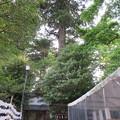 劔神社(越前町)御神木