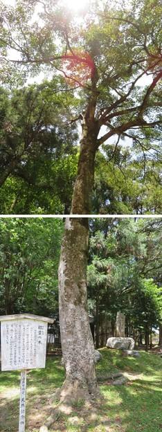 若狭姫神社(若狭彦神社下社。小浜市遠敷)招霊の木