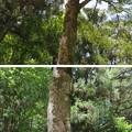 Photos: 若狭姫神社(若狭彦神社下社。小浜市遠敷)招霊の木
