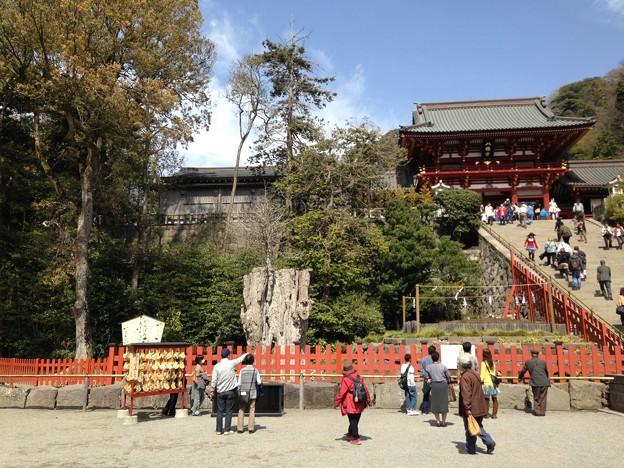 Photos: 13.03.28.鶴岡八幡宮(鎌倉市)大銀杏跡