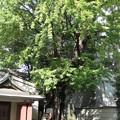 Photos: 10.11.02.品川寺(南品川)銀杏