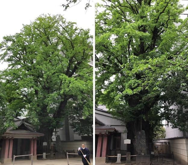 Photos: 品川寺(南品川)イチョウ