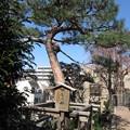 Photos: 御嶽山清立院(南池袋)請雨松