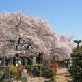 Photos: 11.04.14.染井霊園(豊島区駒込)