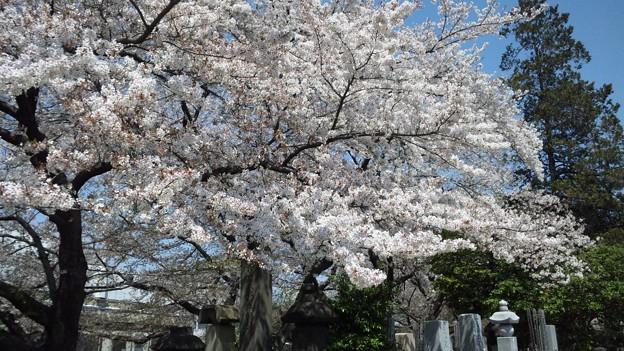 11.04.14.染井霊園(豊島区駒込)