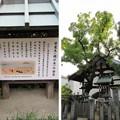 誉田八幡宮(羽曳野市)槐の木 ・安産社