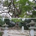 壺井八幡宮(羽曳野市)樹齢1000年楠木