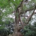 Photos: 壺井八幡宮(羽曳野市)樹齢1000年楠木