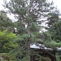 弘川寺(南河内郡河南町)三鈷の松