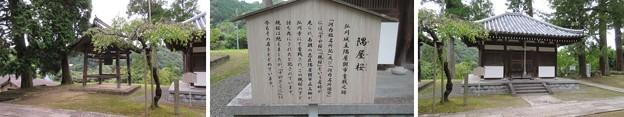 弘川寺(南河内郡河南町)隅屋桜