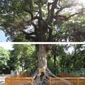 大鳥大社(堺市西区)根上大楠