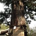 諏訪大社 下社秋宮(下諏訪町)根入りの杉