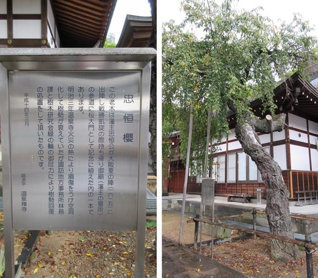 温泉寺(諏訪市)忠恒櫻