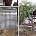 Photos: 温泉寺(諏訪市)忠恒櫻