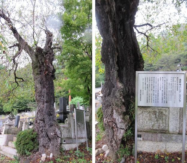 温泉寺(諏訪市)シダレザクラ