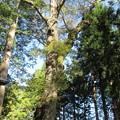 上社 本宮(諏訪市中洲)贄掛けの大欅