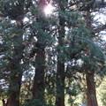 法華寺/上社神宮寺跡(諏訪市)五本杉