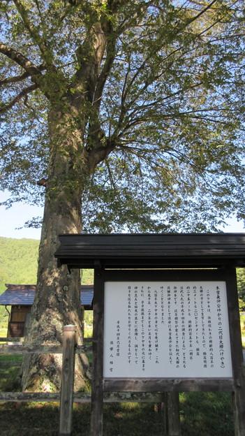 旗挙八幡宮 ・木曽義仲館跡(木曽町)二代目大欅