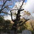 那須温泉神社(那須町)御神木