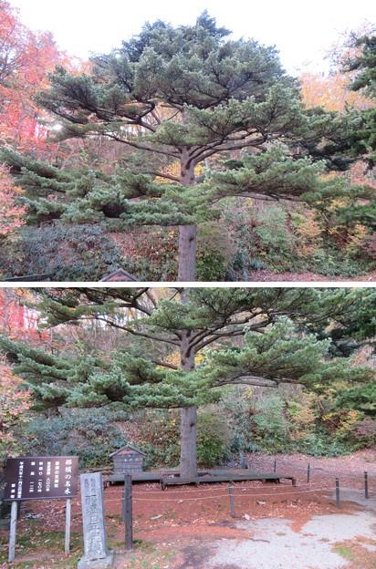 那須温泉神社(那須町)五葉松
