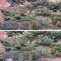 Photos: 那須温泉神社(那須町)五葉松