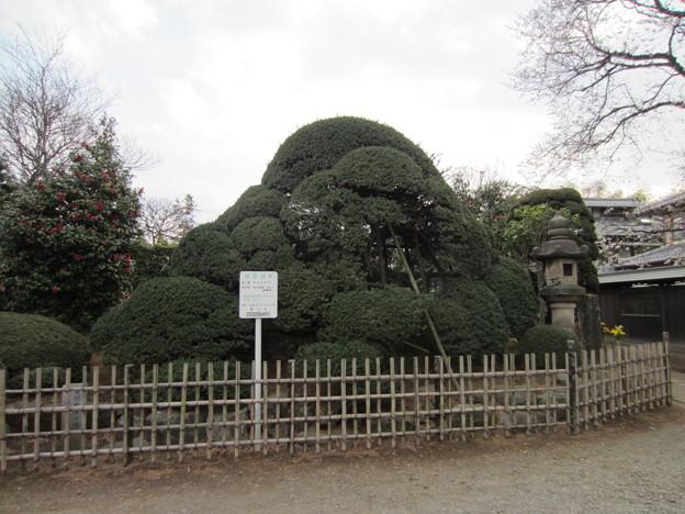 金剛寺(川口市)植木