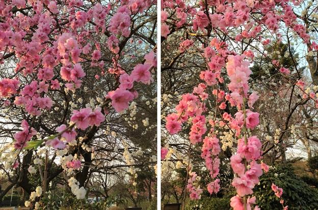 Photos: 13.03.23.興禅院外周(川口市)