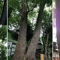 13.07.17.鳩ヶ谷氷川神社(川口市)御神木(夫婦楠)