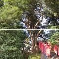滝の城(所沢市)夫婦樫