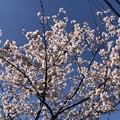 諏訪盛重屋敷跡(鎌倉市役所)白梅