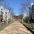 鶴岡八幡宮(鎌倉市)段葛