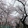 20.03.23.谷中霊園(台東区)