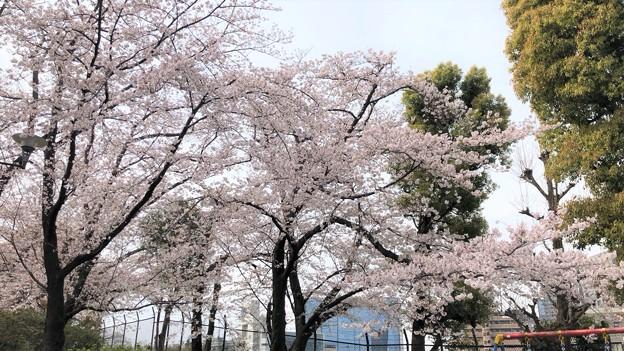 20.03.30.御殿山(品川区)権現山公園