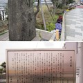 Photos: 11.03.24.蔵前橋 西詰南側(台東区蔵前)首尾の松