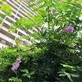 20.08.23.なんと藤が開花……(゚Д゚;≡;゚д゚)