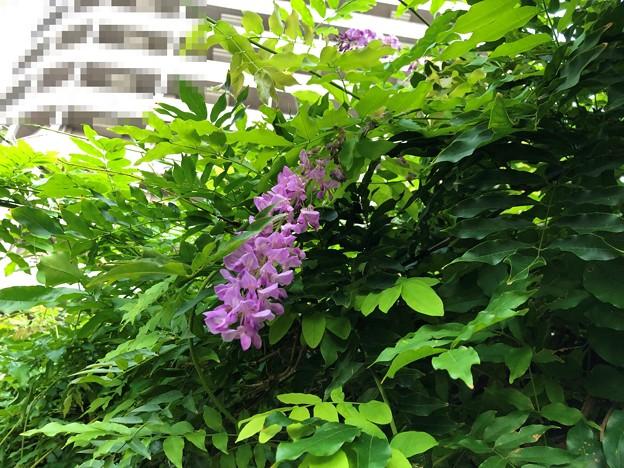 20.08.23.なんと藤が開花……(゚Д゚;≡;゚д゚)2