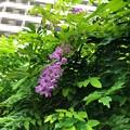 Photos: 20.08.23.なんと藤が開花……(゚Д゚;≡;゚д゚)2