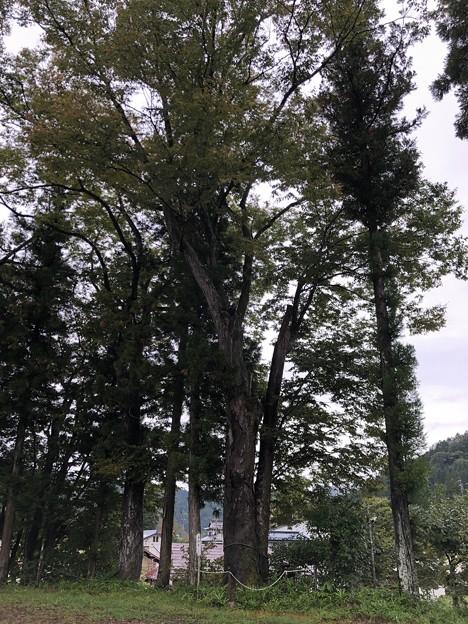 鬼無里神社(長野市鬼無里)神木
