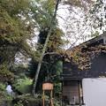 戸隠神社(火之御子社(日之御子社))西行桜