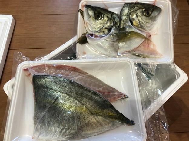 Photos: 熊野灘2――縞鯵