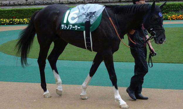 Photos: サトノアーサー(3回東京4日 11R 第35回 エプソムカップ(GIII)出走馬)