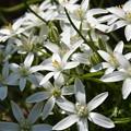 Photos: ハナニラに似た花です~