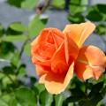 写真: 咲き始め~
