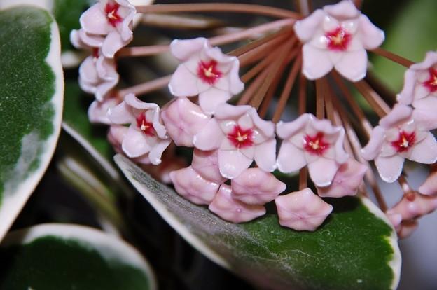 写真: 観葉植物に花が~