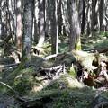 奥山の苔むす樹木~