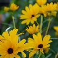 ヒマワリの様な花が~