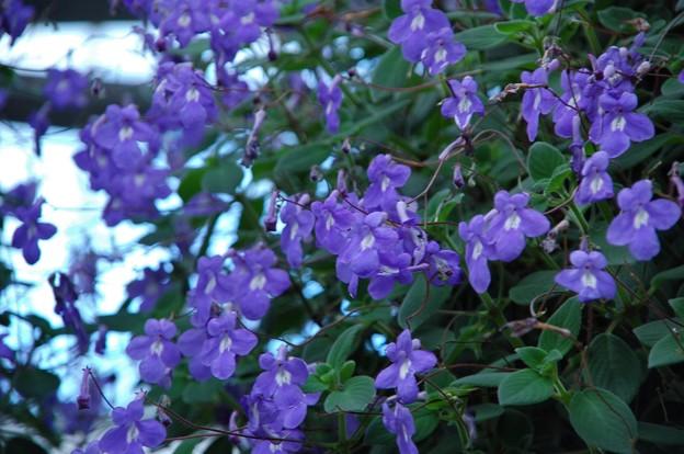 ブルーの花~