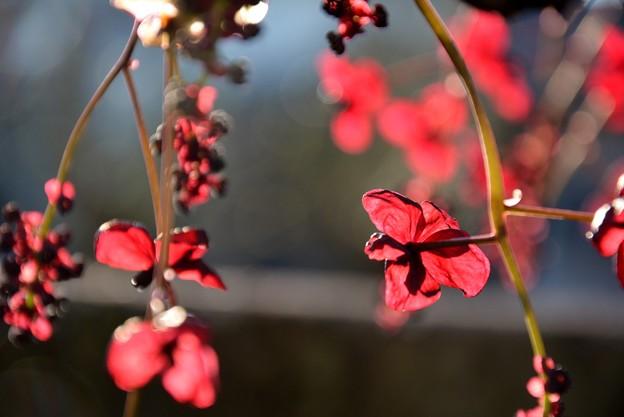 三つ葉アケビの花~