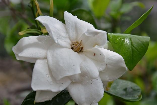 大輪のクチナシの花~