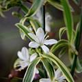オリヅルランの花~